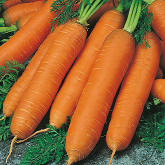 Carrot Flyaway F1 (Organic) Seeds