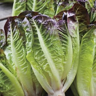 Lettuce Amaze Seeds