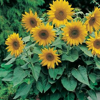 Sunflower Pacino