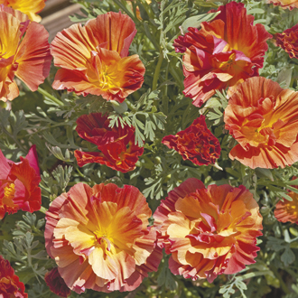 Californian Poppy XL Peach Strawberry