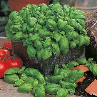David Domoney, Get Growing Basil - Sweet