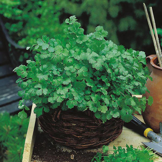 Get Growing Coriander - Cilantro for leaf