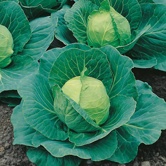 David Domoney, Get Growing Cabbage Ball
