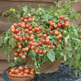 David Domoney, Get Growing Tomato Tumbling Cherry