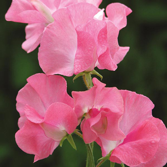 Sweet Pea Daily Mail Seeds