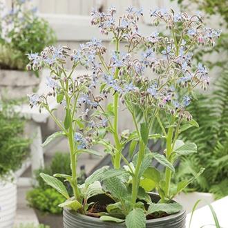Borage Blue Seeds
