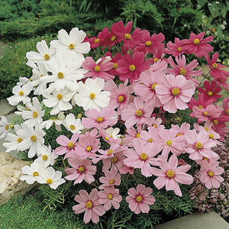 Cosmos Cutesey Mixed