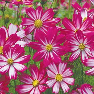 Cosmos Cosimo Purple Red-White