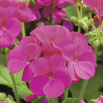 Geranium Apache Violet F1