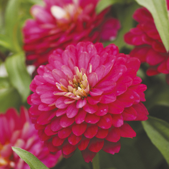 Zinnia Double Zahara Strawberry