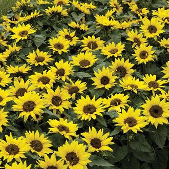 Sunflower (Dwarf) Choco Sun Seeds