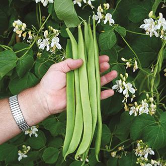 Runner Bean Moonlight AGM Veg Plants