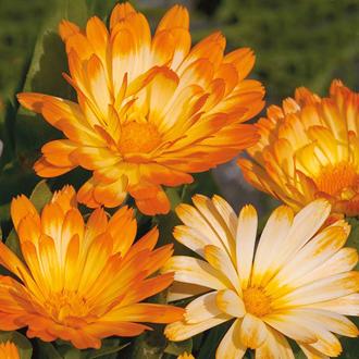 Calendula Oopsy Daisy Seeds