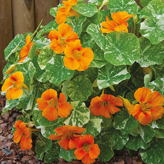 Nasturtium Tip Top Alaska Deep Orange Seeds