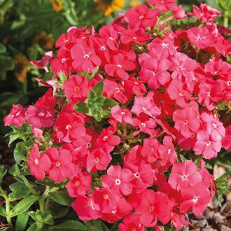 Phlox Pomegranate Beauty Seeds