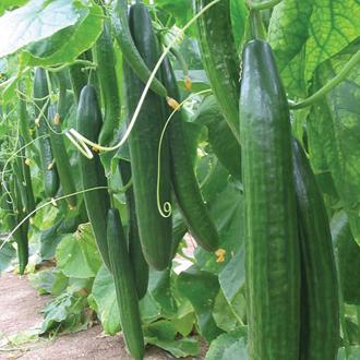 Cucumber Carmen F1 Seeds