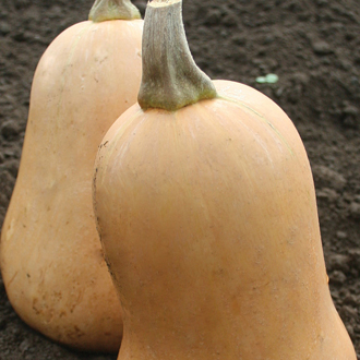 Squash (Butternut) Sweetmax F1 Seeds