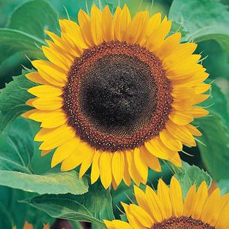 Sunflower Taiyo Seeds