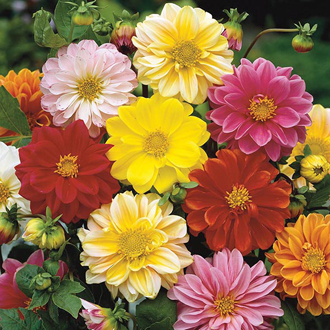 Dahlia Bambino Mixed Seeds