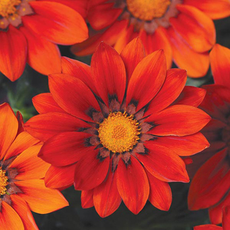 Gazania New Day Red Shades F1 Seeds