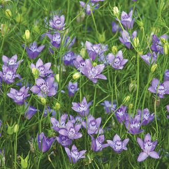 Nigella Blue Stars Seeds