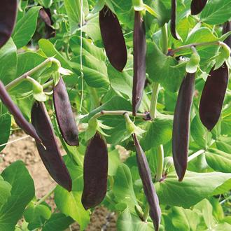 Pea Shiraz Seeds
