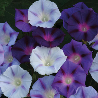 Morning Glory Hazelwood Blues Seeds