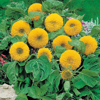 Sunflower Teddy Bear Seeds