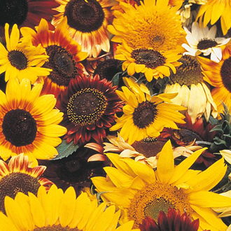 Sunflower Allsorts Seeds