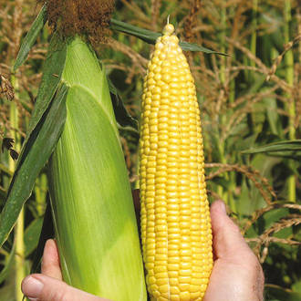 Sweetcorn ACX SS7078Y veg plants