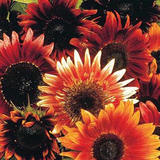 Sunflower Infrared F1 Seeds