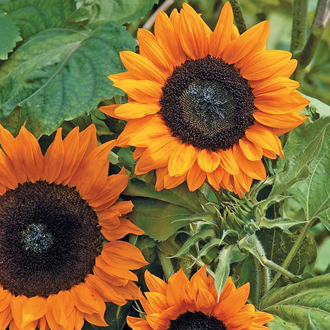 Sunflower Copper Queen F1 Seeds