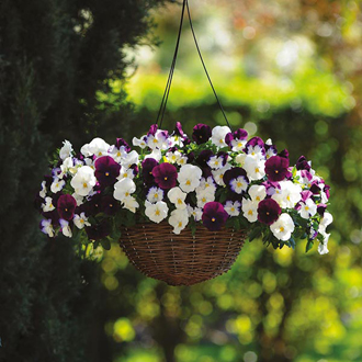 Pansy Cool Wave Berries & Cream F1 Seeds