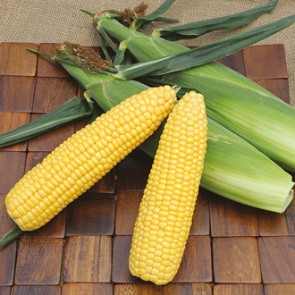 Sweetcorn ACX SS7403RY Veg Plants (Early Season)