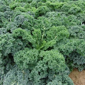 Kale Kapral Seeds