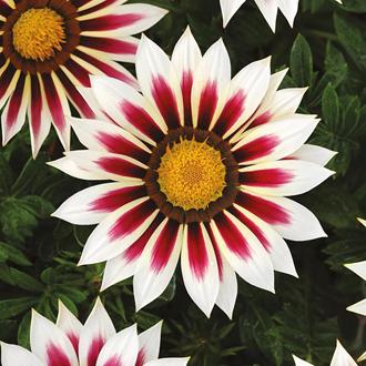 Gazania New Day Rose Stripe F1 Seeds