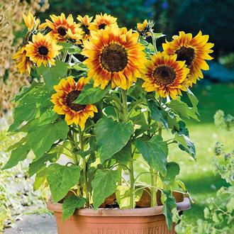 Sunflower Solar Flash F1 Seeds