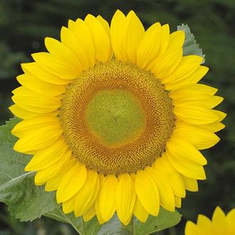 Sunflower Summer Breeze Seeds