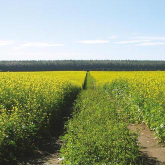 Green Manure Mustard Caliente Seeds