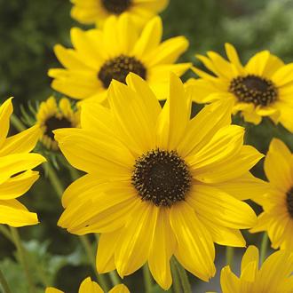 Sunflower Sunny Babe Seeds