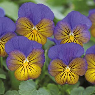 Viola Sorbet Morpho XP F1 Seeds