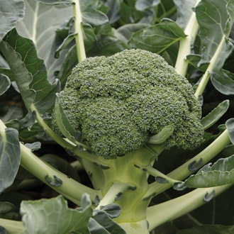Calabrese Monclano F1 Veg Plants