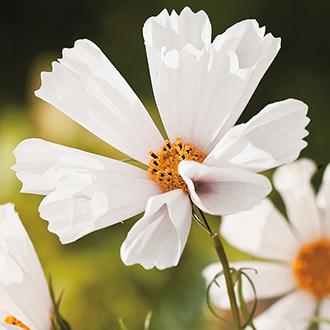 Cosmos Hummingbird White Seeds