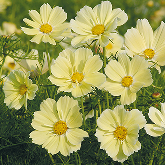 Cosmos Xanthos Seeds