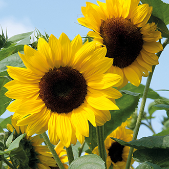 Sunflower Soleo F1 Seeds