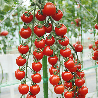 Tomato Suncherry Smile F1 Seeds