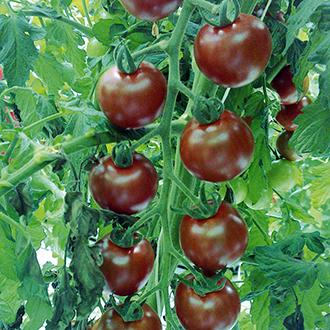 Tomato Sunchocola F1 Seeds