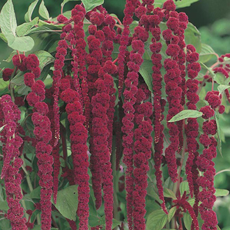 Amaranthus Love Lies Bleeding Seeds