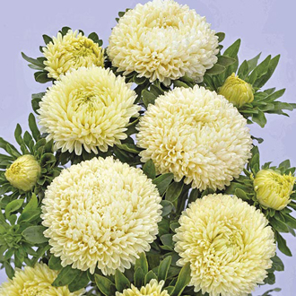 Aster Balloon Yellow Seeds