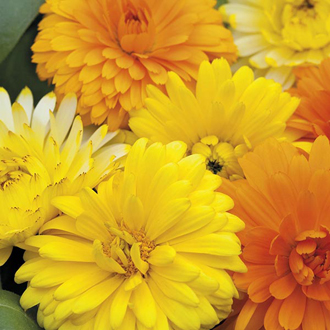 Calendula Costa Mixed Seeds